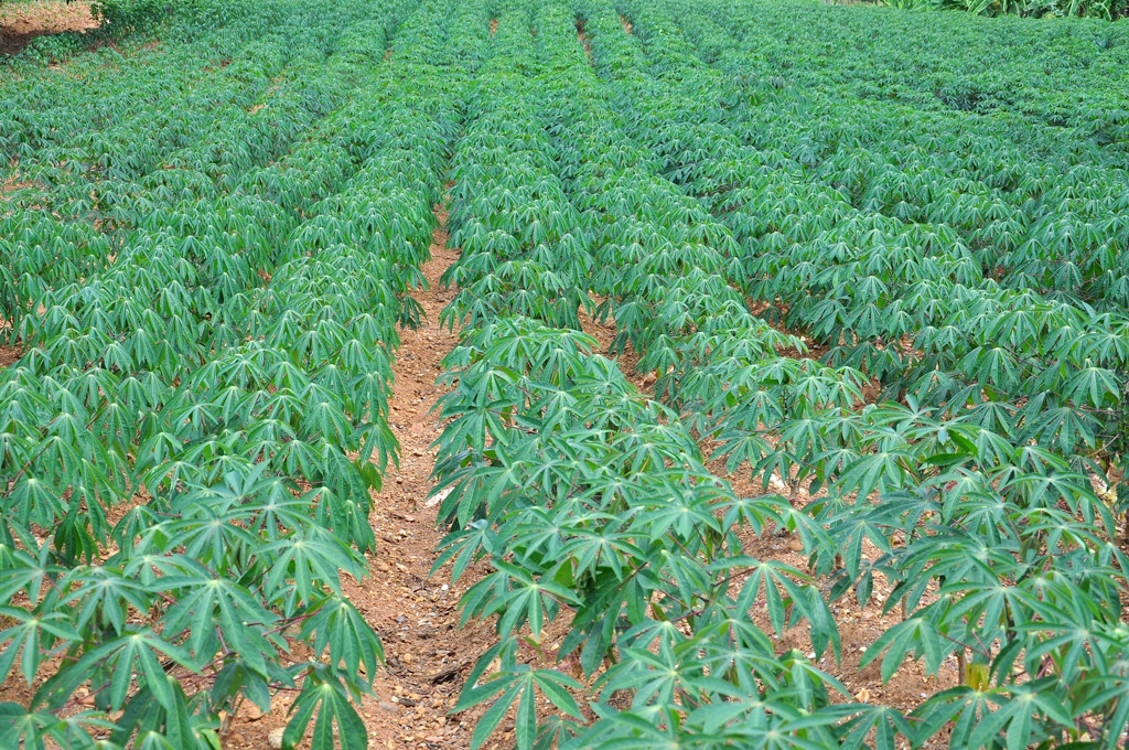 Nigeria Is Largest Cassava Producer In The World Fao