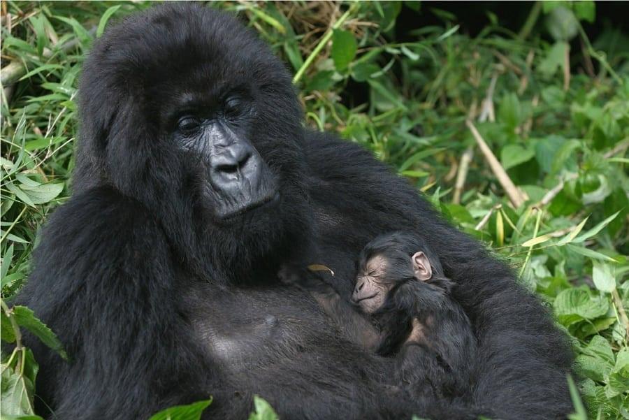 Gorilla with its newborn   Photo credits:   youtube.com