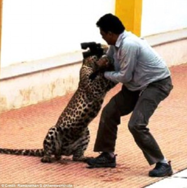 He only survived after he used a pair of binoculars to beat back the big cat and prevent further injury