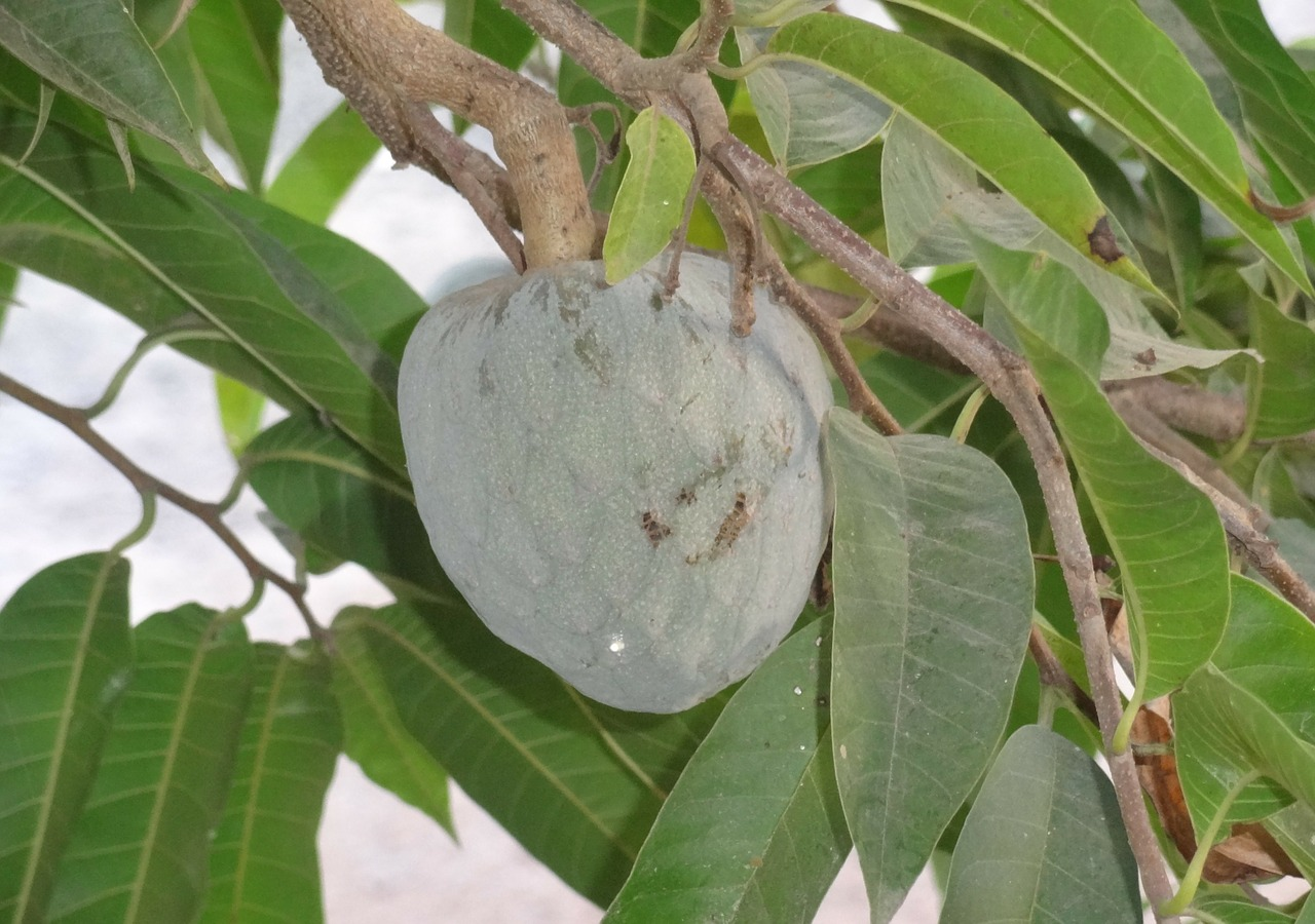How Soursop Fruit And Leaf Can Be Used To Cure Cancer Completely!