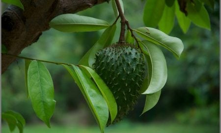 Soursop fruit and leaf | Photo credit: Kaua'i - Steel Grass - Rachelle's Photos