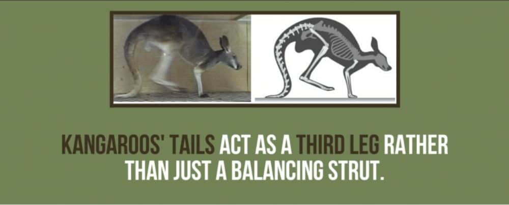 Fact File About Kangaroos