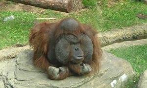 Orangutan bornean