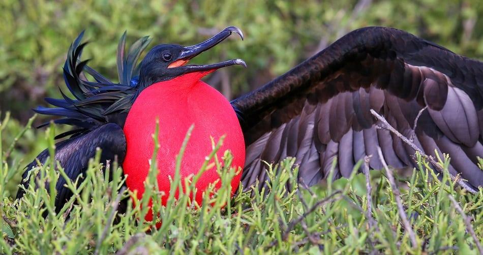 Male Great Frigatebird