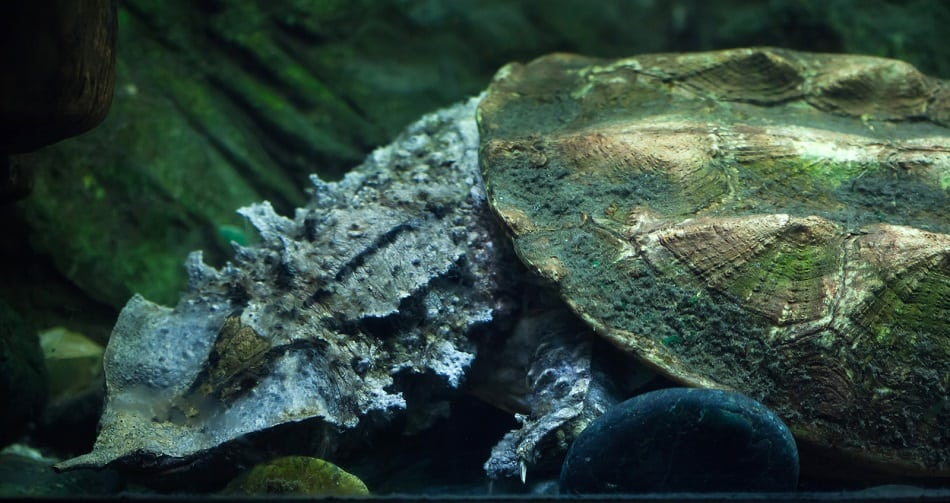 Matamata (Chelus fimbriata)