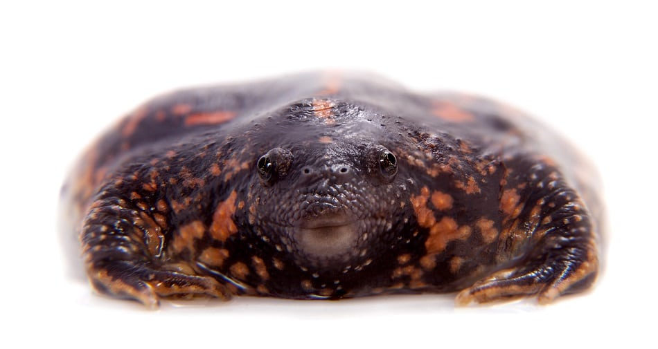 The Mexican burrowing toad