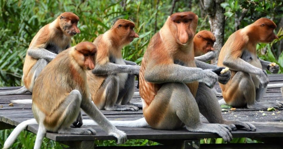 Group of Proboscis monkeys in Labuk Bay sanctuary