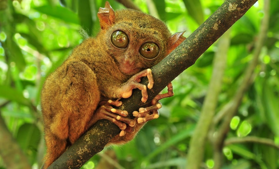 Tarsier, world's smallest primate