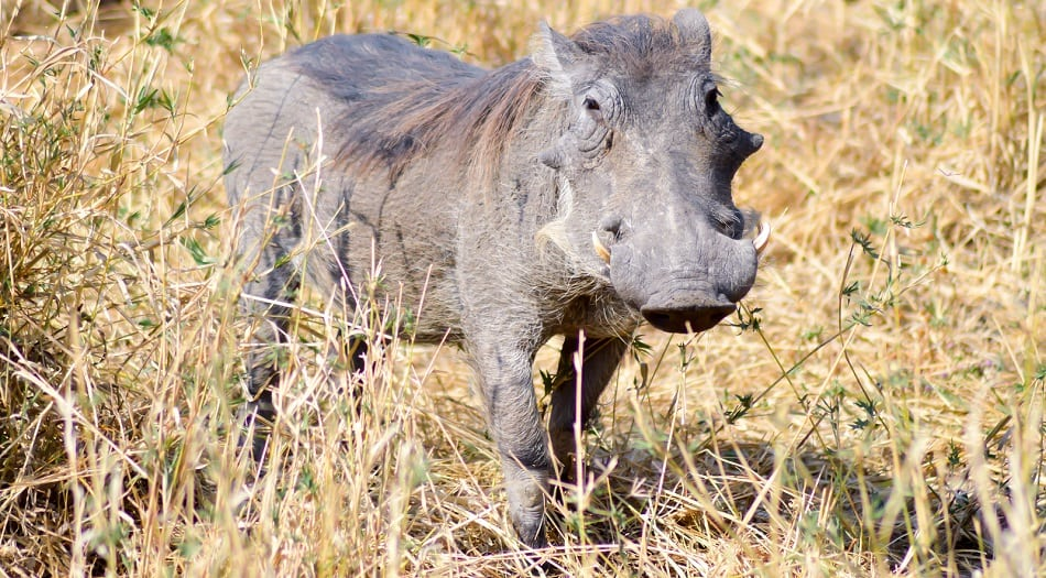 Warthog in the savanna of the Tarangire Park