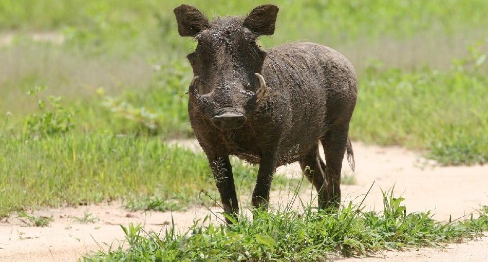 wild warthog pig