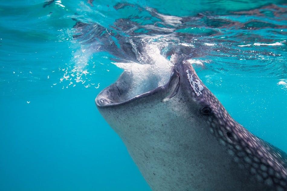 whale shark feeding plankton
